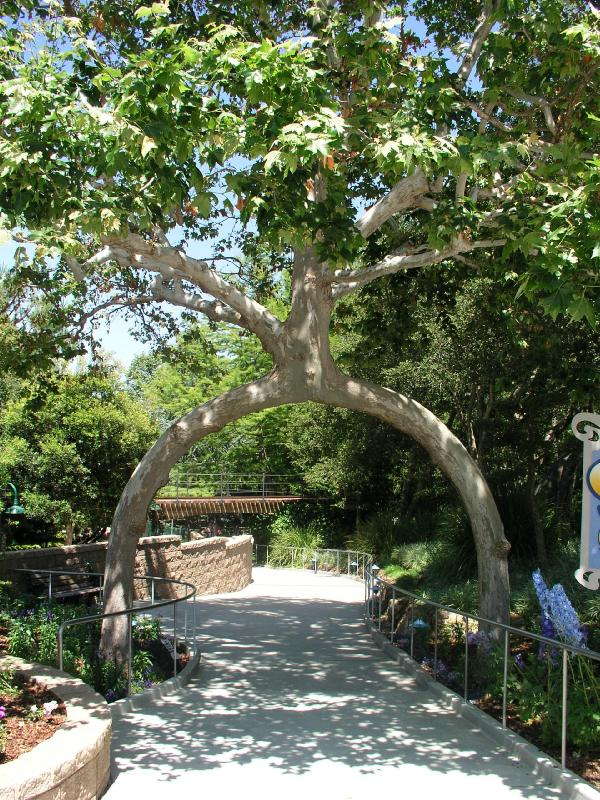Axel Erlandson Circus Tree 1