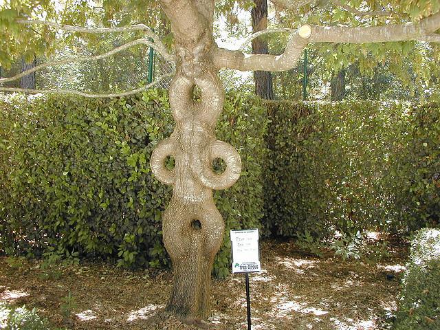 Axel Erlandson Circus Tree 2