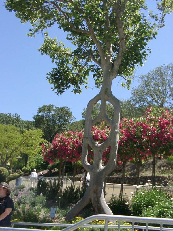 Axel Erlandson Circus Tree 6