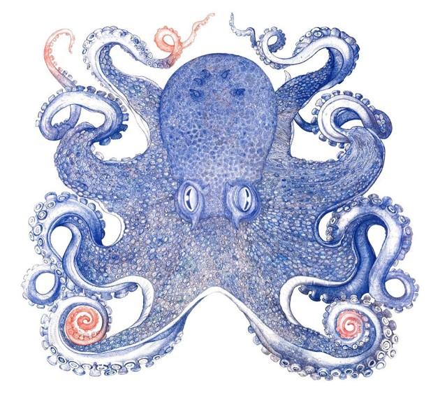 Raymond Cicin chobotnica nakreslena gulockovym perom 6