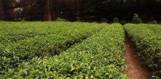 Zelený čaj je zázrak. Viete, ako ho správne pripraviť?