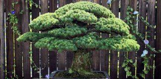 Tento 391-ročný bonsaj prežil atómový útok v Hirošime a stále rastie!
