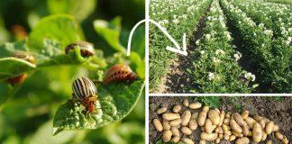 Pásavka zemiaková minulosťou | 10 rád ako sa zbaviť pásavky zemiakovej