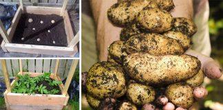 Ako vypestovať až 45 kg zemiakov na 1 m² | Pestovanie zemiakov