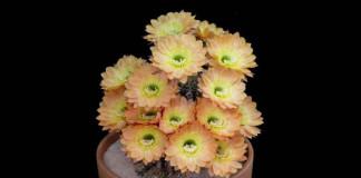 Nádherné kvitnutie kaktusov Echinopsis | Video