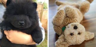 Huňatí psíkovia, ktorí vyzerajú ako malé medvedíky