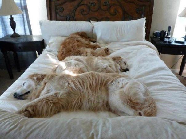 psikovia spiaci v posteli 12