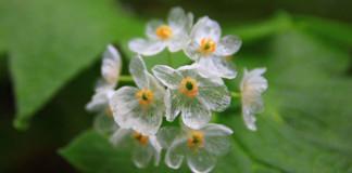 Keď zaprší, tento kvet sa zmení na priehľadný | Diphylleia grayi