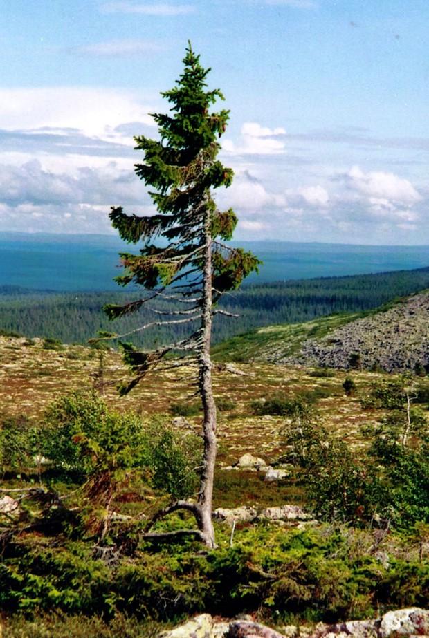 Najstarší strom na svete Old Tjikko. Smrek, ktorý má 9550 rokov 1