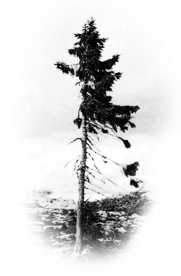 najstarsi strom na svete 9550 rokov 3
