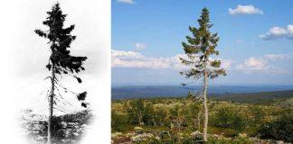 Najstarší strom na sveteOld Tjikko. Smrek, ktorý má 9550 rokov