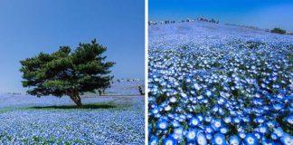 Modrooké kvety Nemophila zaplavili japonský park Hitachi