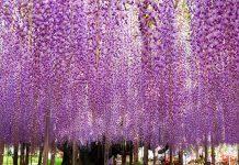 Kvetinový park plný vistérií na oslavu jari   The Great Wisteria Festival