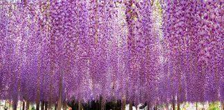 Kvetinový park plný vistérií na oslavu jari | The Great Wisteria Festival