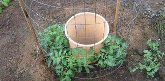 Šikovný záhradkár prišiel na svojskú metódu pestovania paradajok