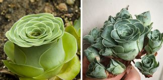 Sukulent ruža Greenovia Dodrentalis | Druh sukulentov v tvare ruže