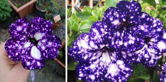Kvety petunia cultivars vyzerajú ako nočná obloha plná hviezd a galaxií