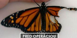 Žena transplantovala krídlo motýľa, čím mu zachránila život
