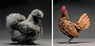Najkrajšie sliepky na svete v jednej foto knihe | CHICken