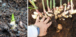 Pestovanie zázvoru | Ako si doma vypestovať nekonečnú zásobu zázvoru