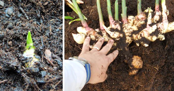 Ako pestovať doma hlivu ustricovú – video návod.