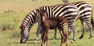 Bodkovaná zebra púta svojim vzhľadom pozornosť turistov | Keňa